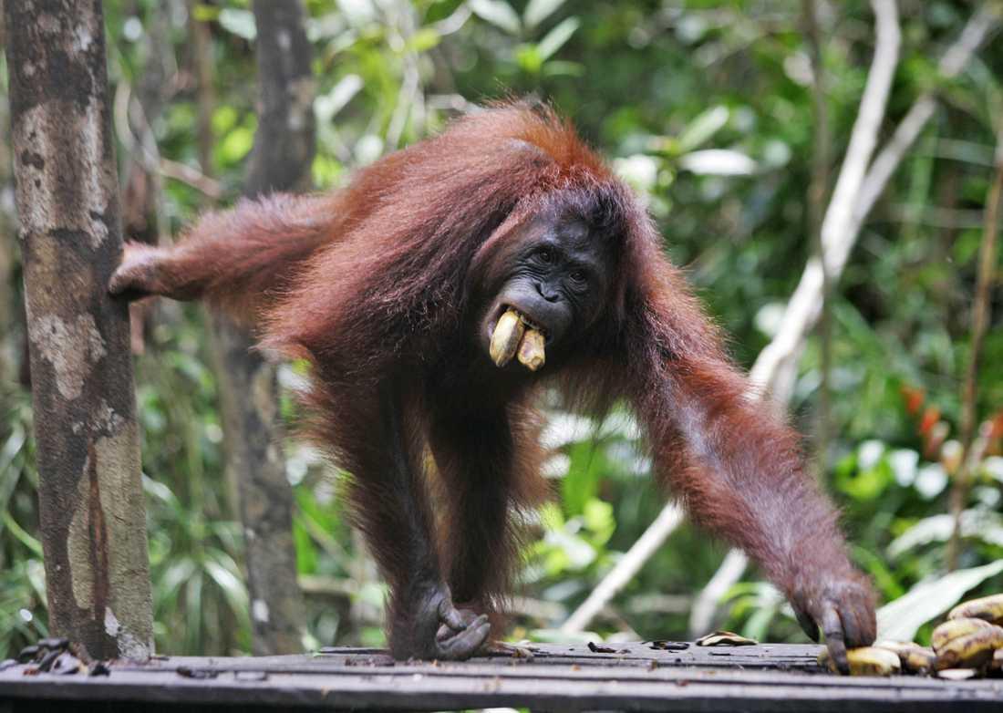 En orangutang på Borneo. Arkivbild.