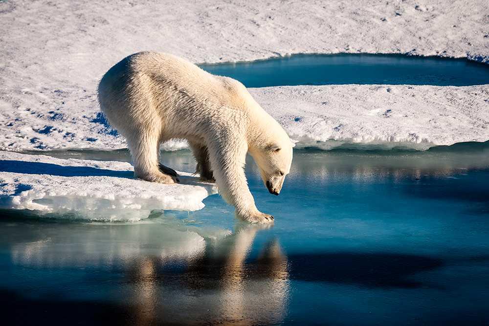 Isbjörnar på Arktis  drabbas av klimatförändringarna.