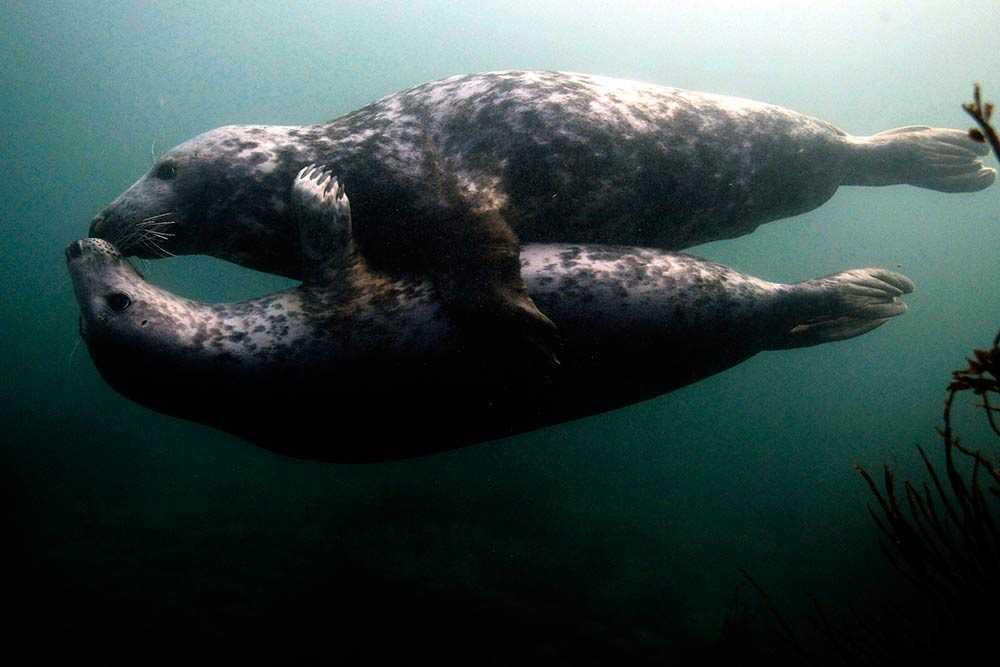 Två gråsälar leker i vattnet utanför Northumberland i norra England.
