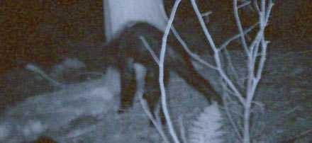 Legendarisk Det här är bilden som kan visa att den myomspunne varelsen Storfot existerar.