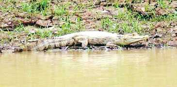 På dagarna ligger alligatorerna och vilar i strandkanten.