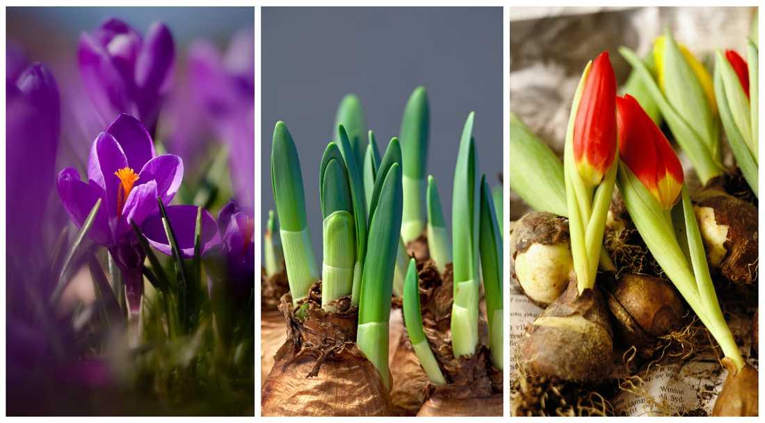 Färdigdrivna lökar som krokus är lätta att plantera. Lyft dem ur den lilla plastkruka och tryck ner i en större kruka med ny jord – klart!