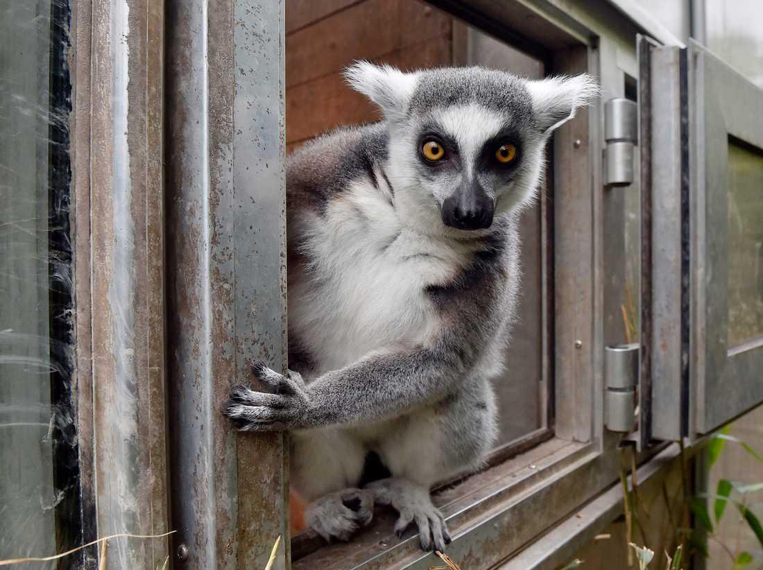Lemurer är på rymmen i Eskilstuna. Just detta exemplar bor dock i Tyskland. Arkivbild.
