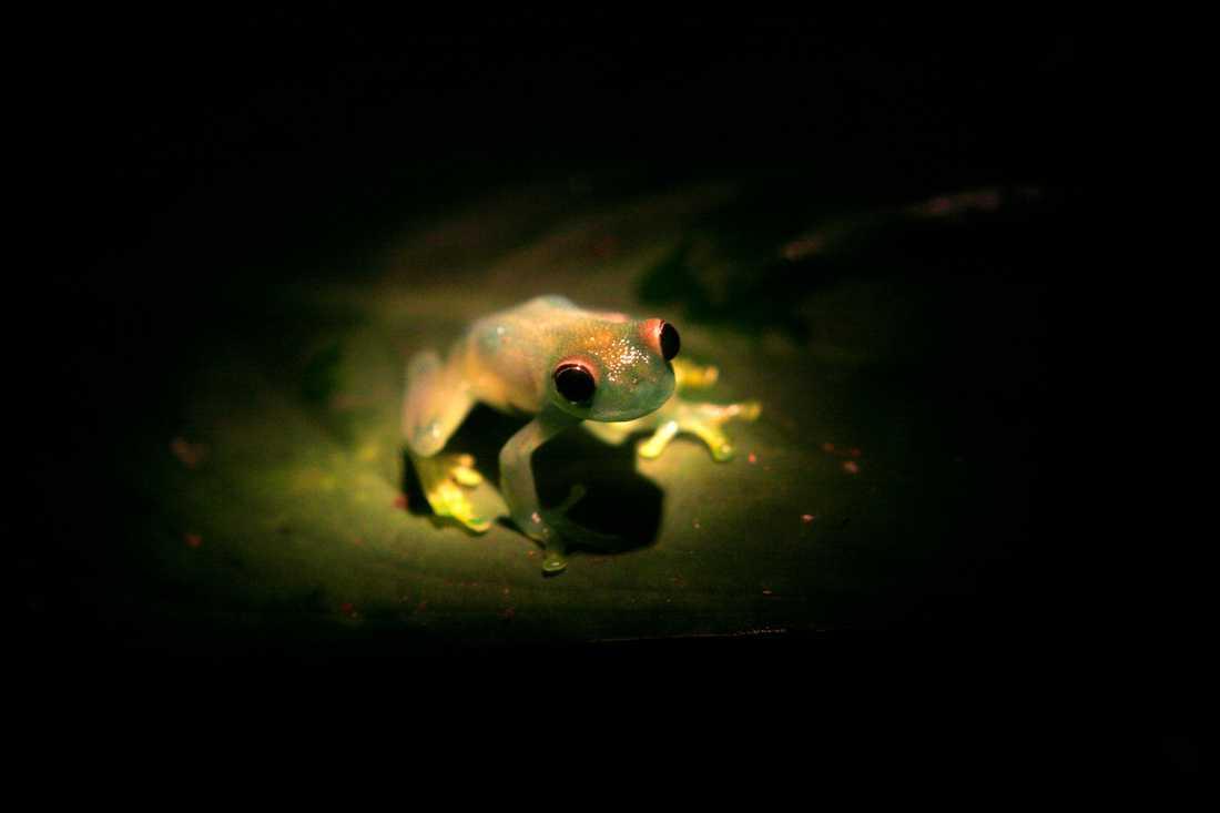 Glasgrodorna är kända för sina genomskinliga magar. Denna costaricanska släkting till den bolivianska glasgrodan sitter på ett löv i Monteverde. Arkivbild.