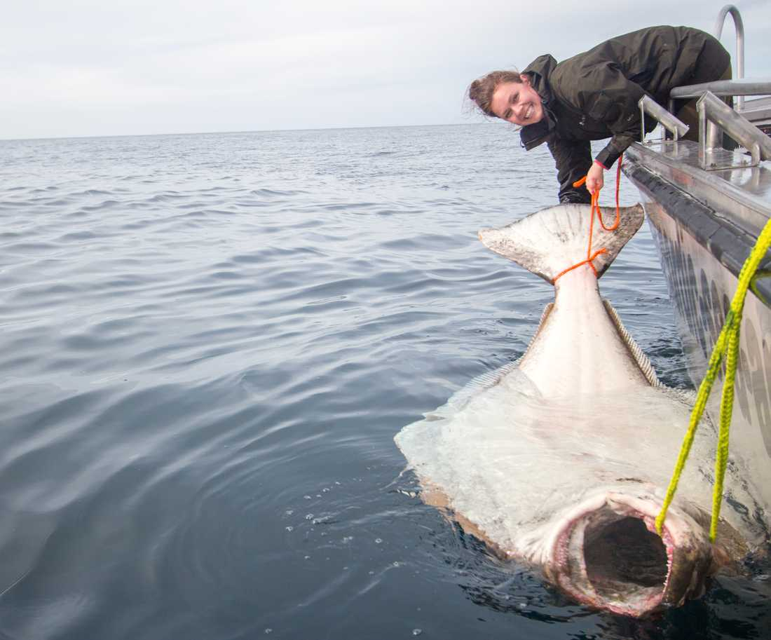 236 centimeter och 183 kilo gör hälleflundran till en rekordfisk.