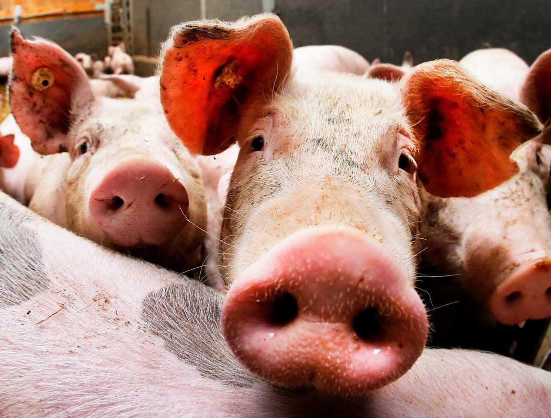 Nära 5000 grisar har avlivats på grund av att salmonella upptäckts på flera skånska gårdar. Arkivbild.