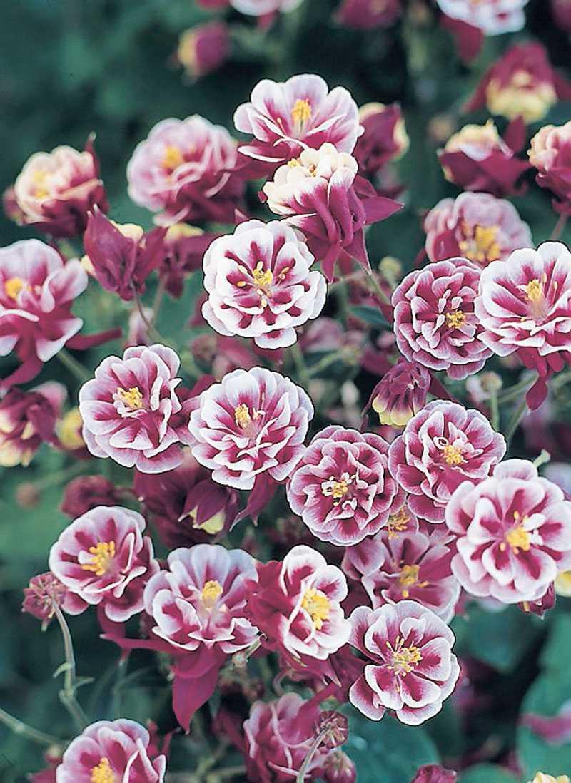 'Winky Double Red-White', Aquilegia vulgaris. Visst ser de nästan ut som små pappersblommor? Hur kan de bli så perfekt formade? Dubbla i vitt, rosa och vinrött. (www.froer.nu)