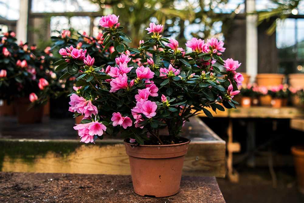 Azalean kan blomma konstant under mörka januariveckor.