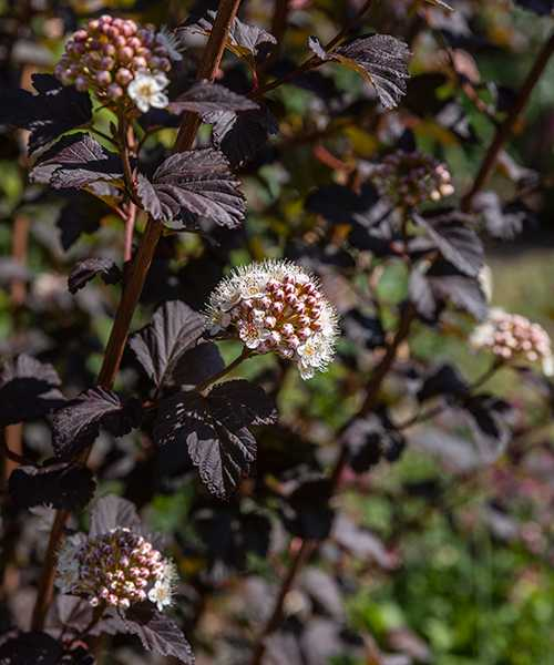 Den rödbladiga smällspirean kallas djävulsbuske och ger en dramatisk effekt i trädgården.