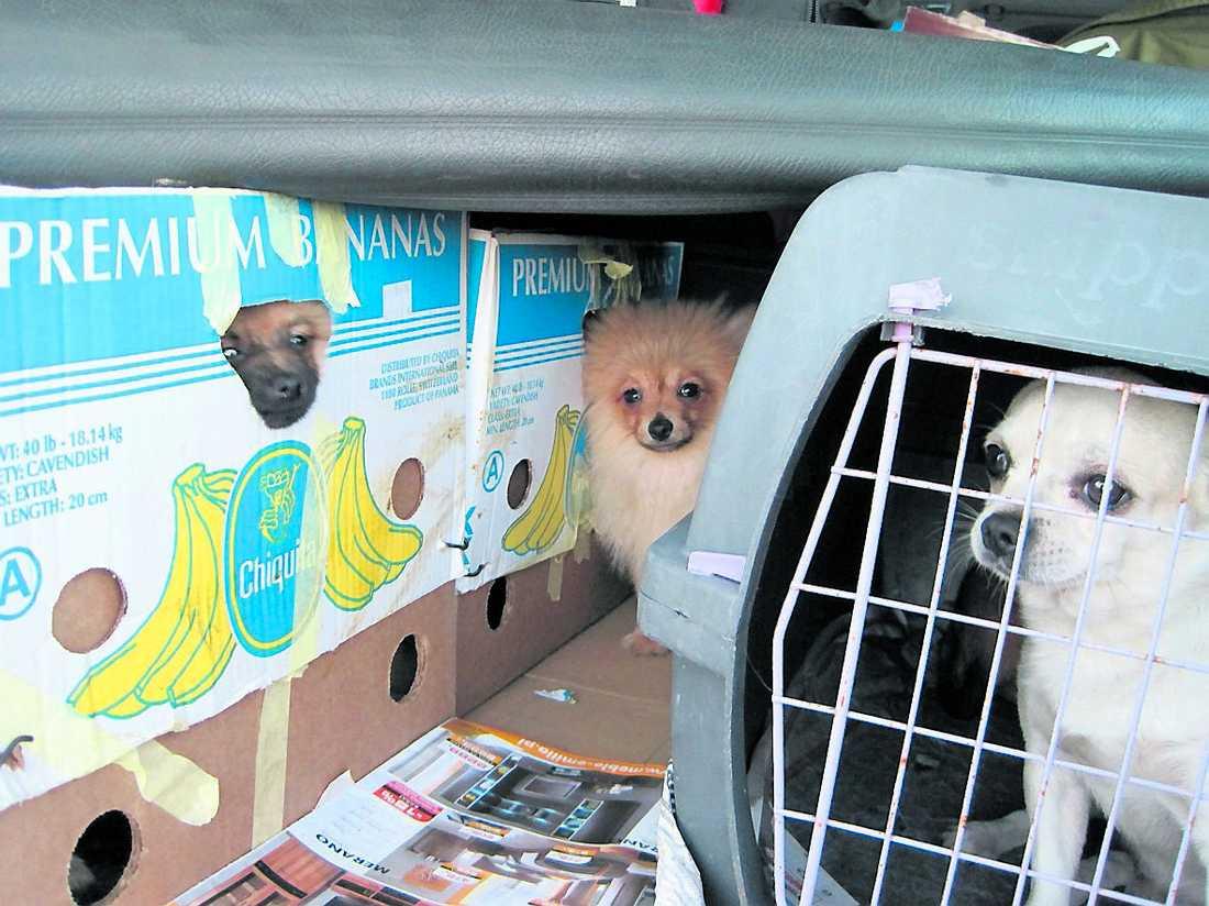 trängdes i lådor Under filten i bilen som körde av färjan låg ihoptejpade bananlådor – fulla med små chihuahuavalpar.