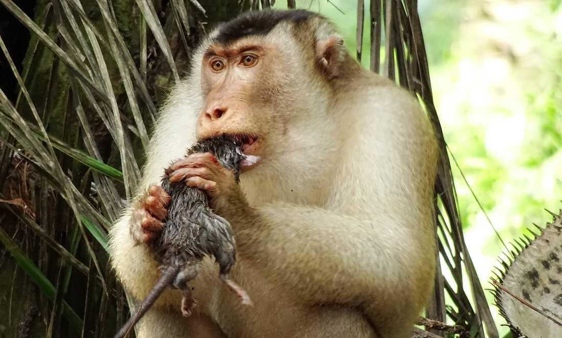 En grupp apor kan äta omkring 3 000 råttor varje år.