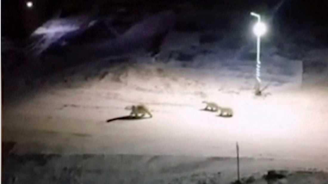 Tre isbjörnar på promenad på en gata i Belusja Guba den 11 februari.