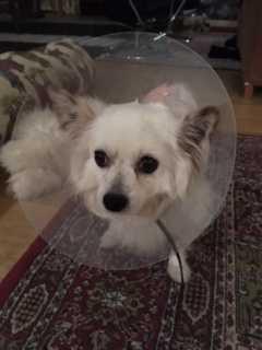 Skadorna på Tedi märktes inte förrän hans päls rakades av.