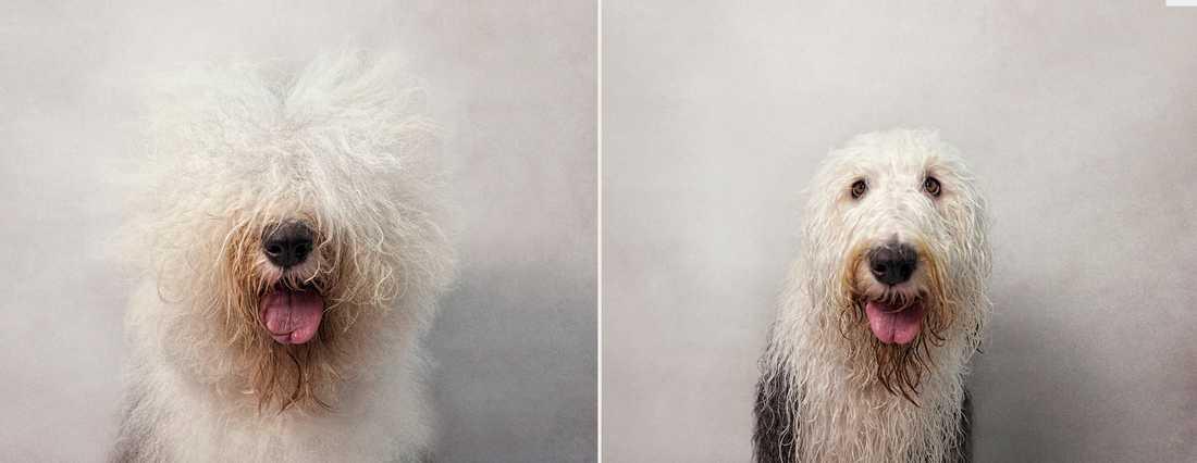 Bone – Old English Sheepdog