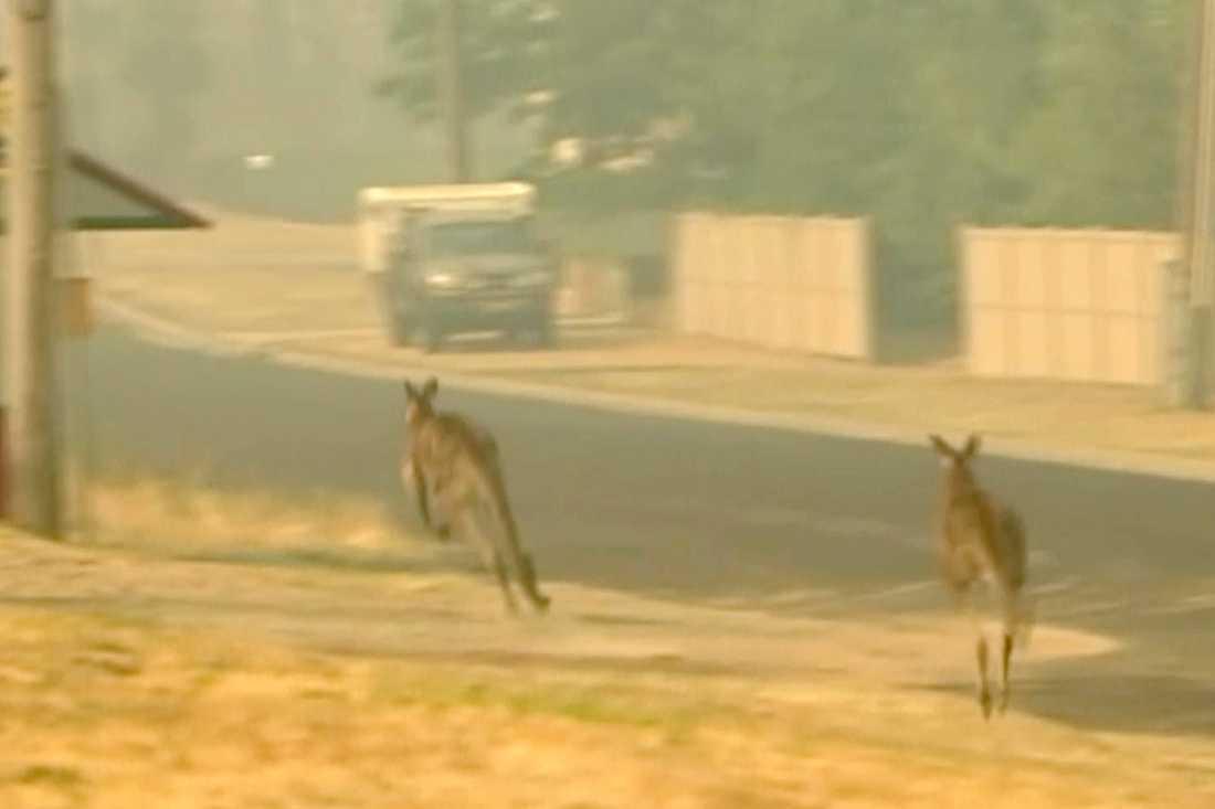 Kängurur på flykt undan bränderna. Arkivbild.