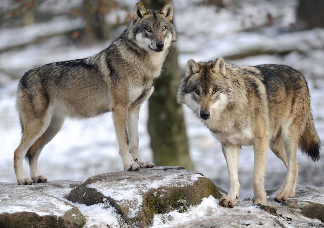 16 vargar i åtta revir får skjutas i vinter.
