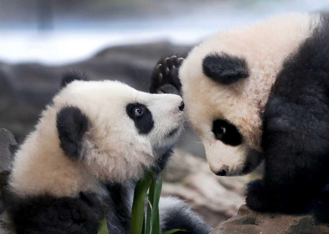 Populationen av vilda jättepandor växer i Kina – något som pandatvillingarna Meng Yuan och Meng Xiang, på Berlins Zoo, antagligen är ovetandes om. Arkivbild.