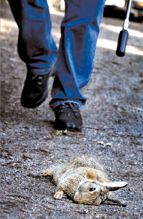 SKADEDJUR Stockholms stad betraktar kaninerna i innerstaden som skadedjur. Förra året sköts över 6 000 kaniner.