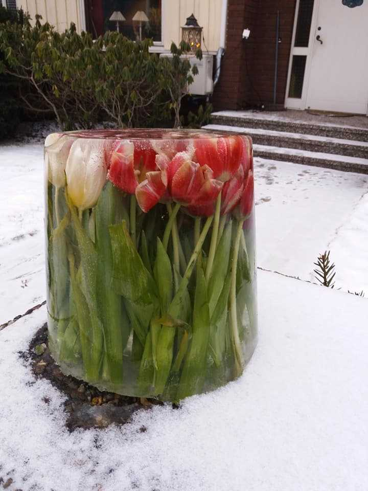 Berit Adolfsson gjorde isskulptur av tulpanerna.