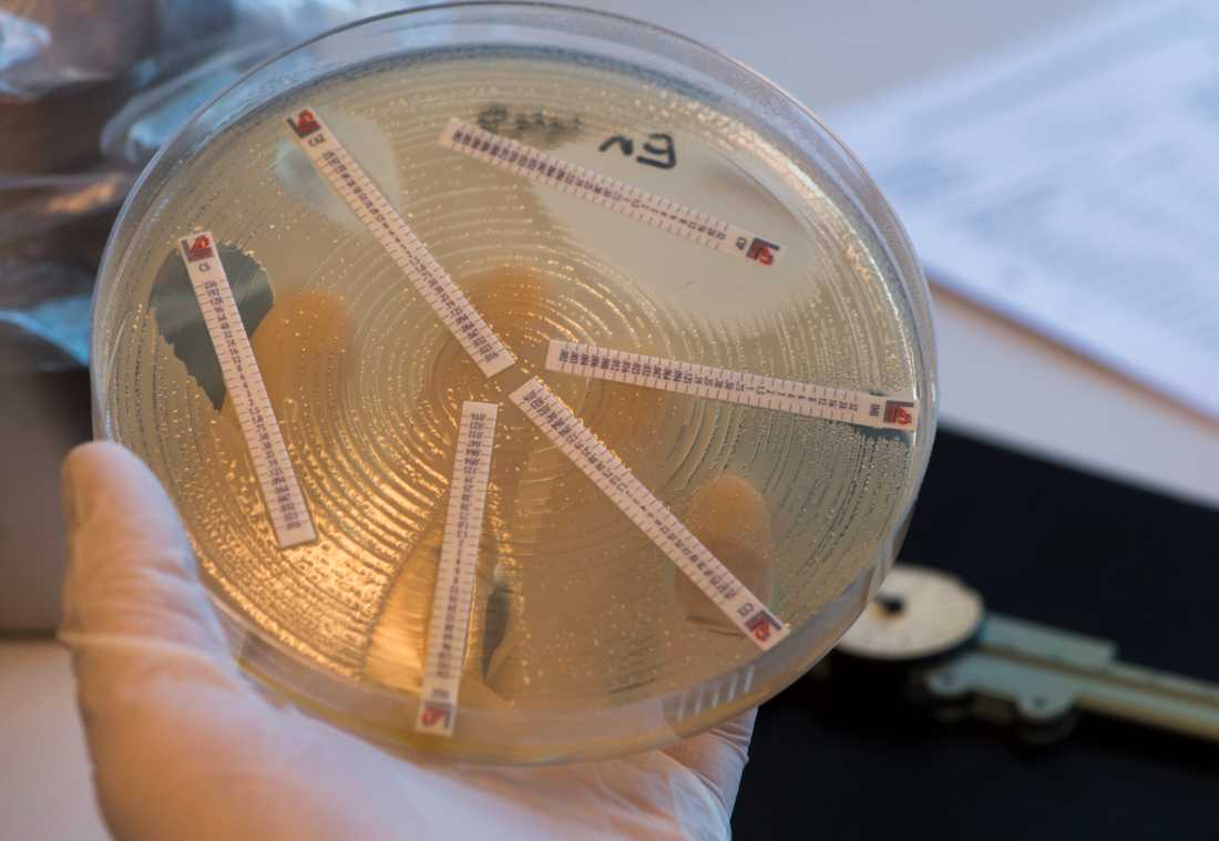 Mätning av resistens och känslighet av antibiotikas effekt på bakterier i en odling. Arkivbild.