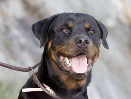 12. Zorro, rottweiler, hane, 9 månader. Zorro hoppade upp mot en flicka och råkade riva henne bakom örat. Upprörda invånare i kvarteret krävde att Zorro skulle bort, och familjen tvingades göra sig av med honom. carina_claesson@telia.com
