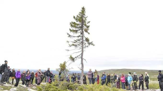 Världens äldsta träd Old Tjikko