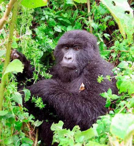 I nationalparken i Rwanda finns världens största grupp av bergsgorillor samlad på en koncentrerad yta. Men bara ett mindre antal gorillor är vana vid människor. Det gäller att vara försiktig och inte gå för nära.