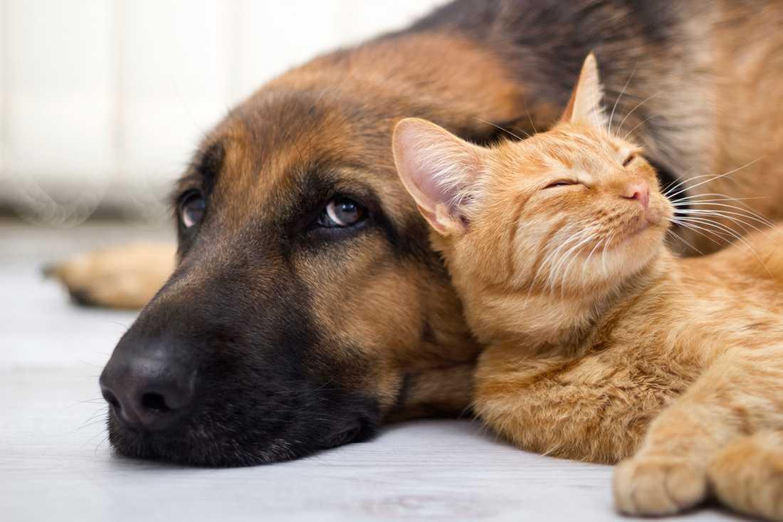 HUND- OCH KATT-TOKIGASTE LANDET 76,4 miljoner katter och 61,1 miljoner hundar i ett land med 316 miljoner invånare –USA får anses som det husdjursvänligaste landet i världen.