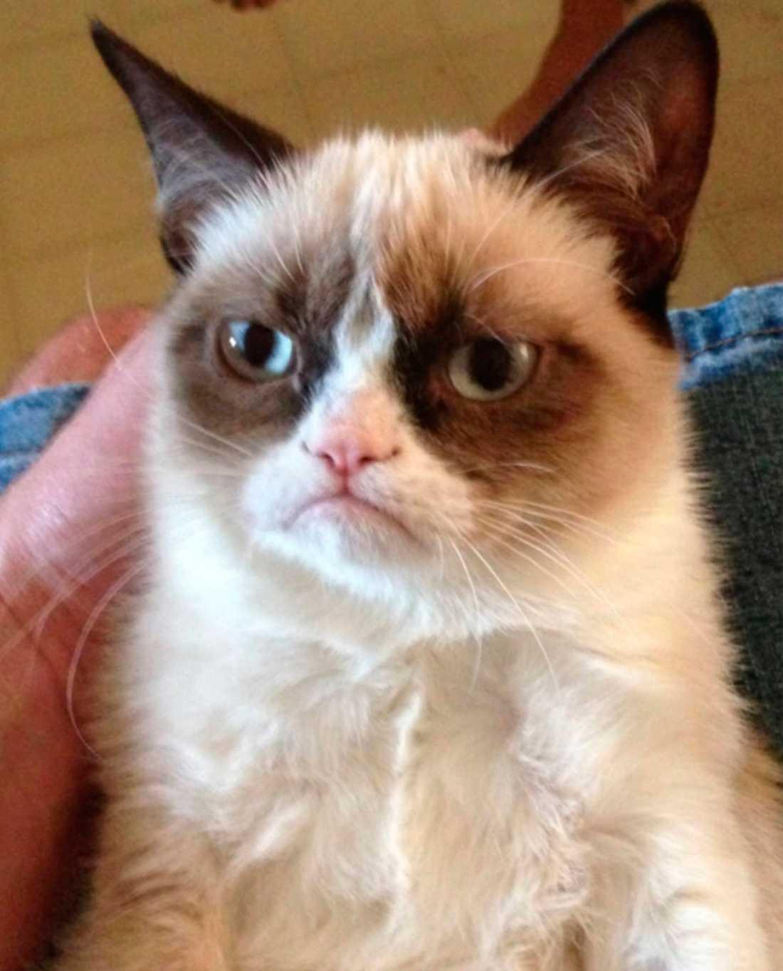 """""""Grumpy cat"""" eller """"Tardar Sauce"""" som den heter på riktigt."""