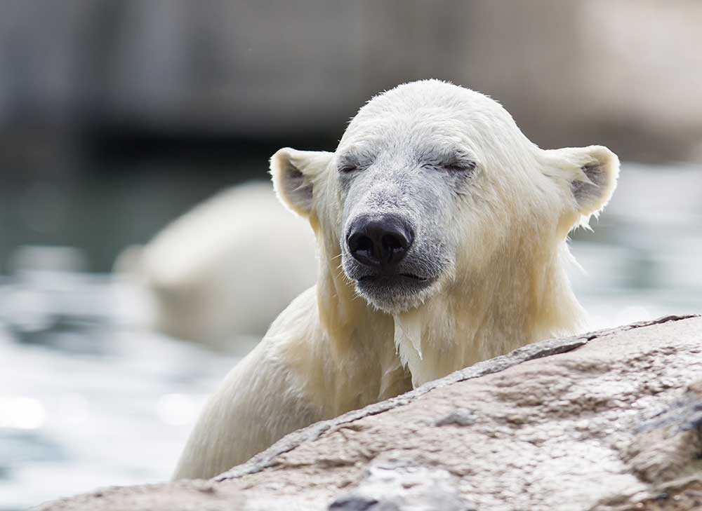 HUNGRIG Om 30–40 år kan två tredjedelar av världens isbjörnar vara borta. Och vi ska komma ihåg att det är samma klimatförändring som ligger bakom såväl det smältande Arktis som det krigsdrabbade Syrien.