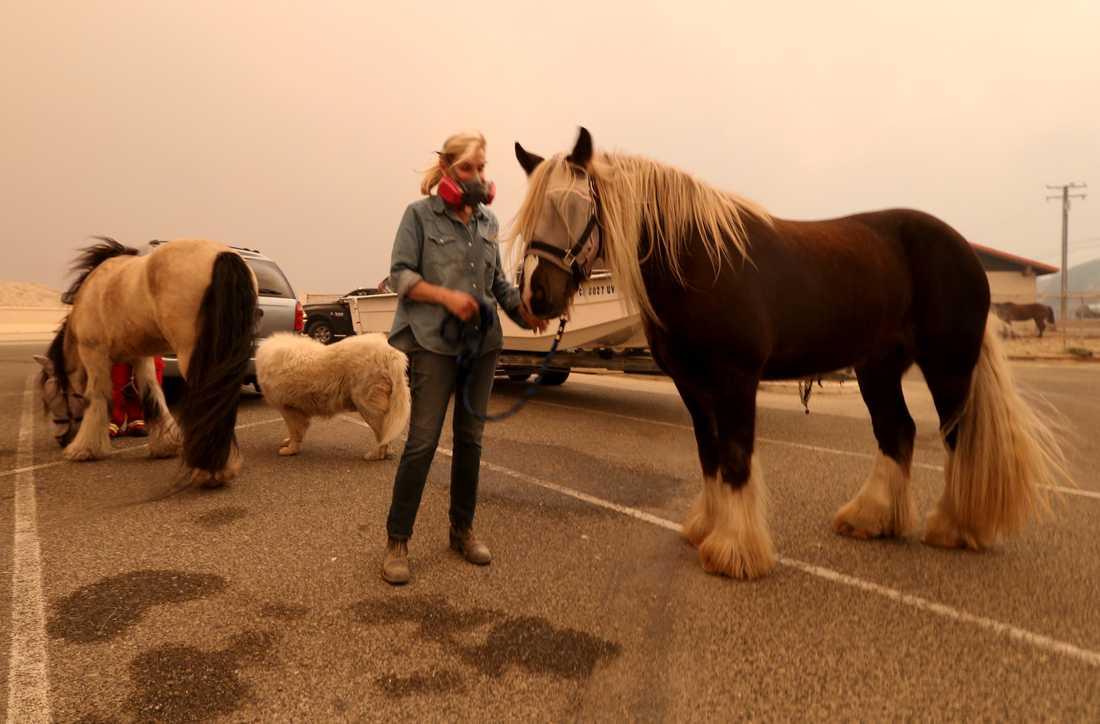 Hästägaren Marty Cable med sina djur på Zuma Beach i Malibu, där evakuerade från en storbrand i södra Kalifornien samlas.