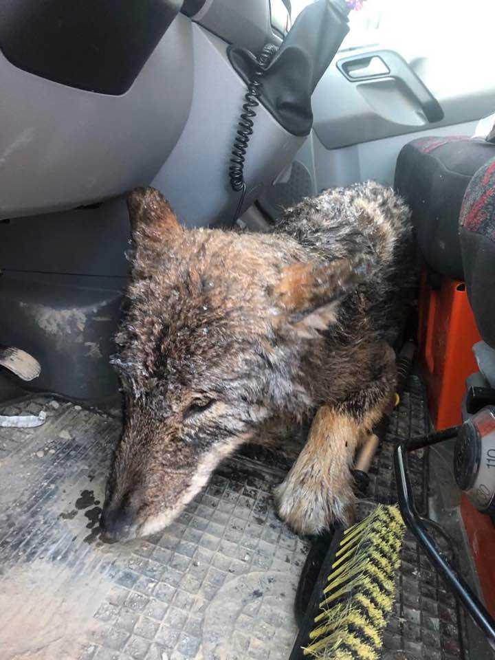 De förde den till en djurklinik där det uppdagades att det var en varg de hade att göra med.