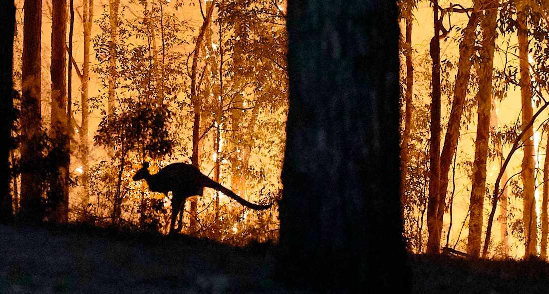 En känguru försöker fly undan lågorna.