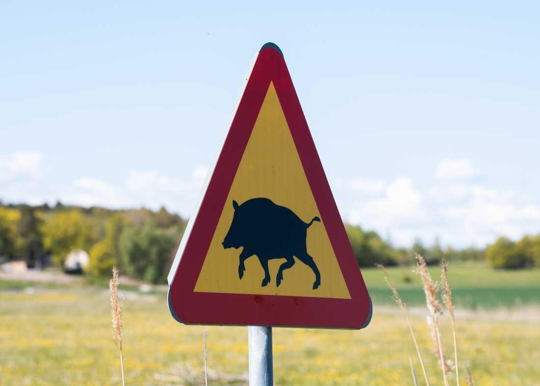 Norska livsmedelsmyndigheten ska betala för vildsvin som skjutits i Norge. Arkivbild.