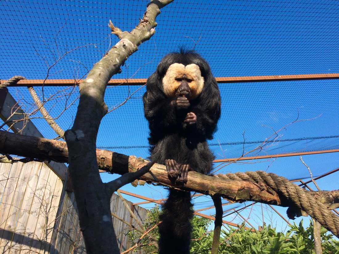 Sakiapan Tito på Ystad djurpark har vågat sig ut.