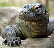 VÄRLDENS STÖRSTA ÖDLA Komodovaranen kan bli 3 meter lång och väga 150 kilo.