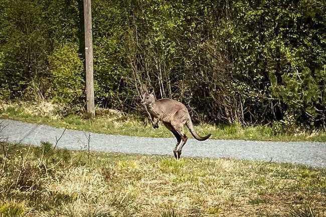 Kängurun i Norge var på rymmen i två månader. Nu är den infångad och tillbaka på djurparken.