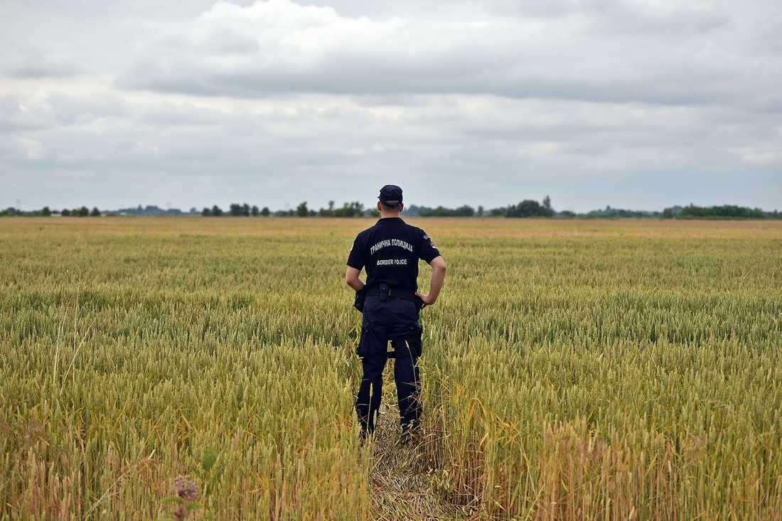 Serbisk gränspolis bevakar ett vetefält vid gränsen där Ungern nu vill bygga ett stängsel.