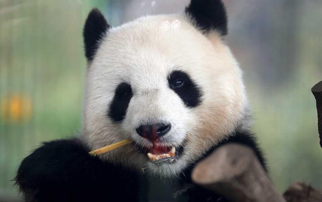 Jättepandan Meng Meng väntas föda en unge på Berlin zoo inom två veckor. Arkivbild.
