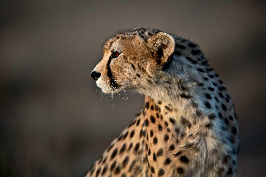 En gepard i Jajarm i nordöstra Iran 2014. Arkivbild.