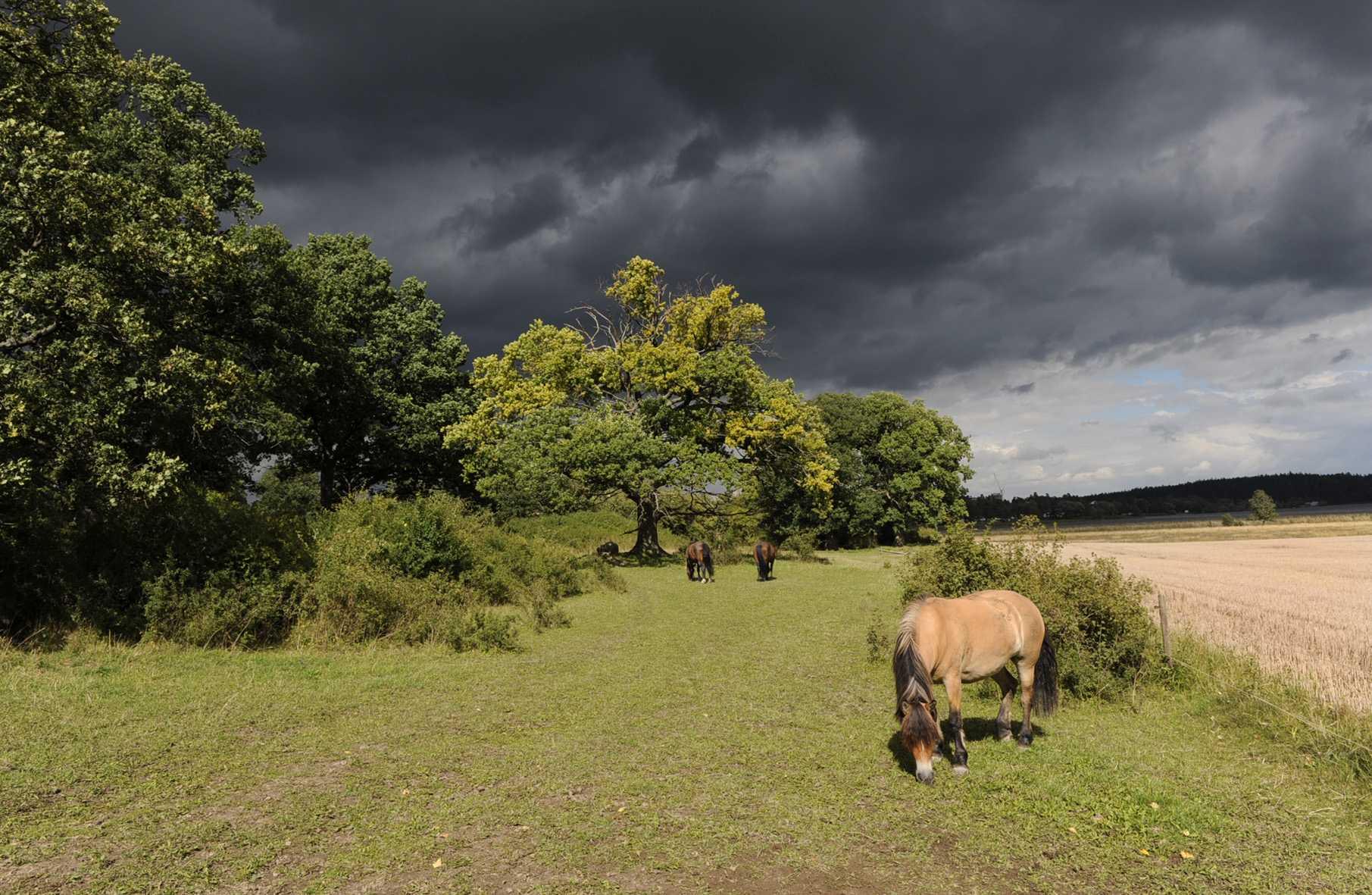 Hästbete på Ekbacken