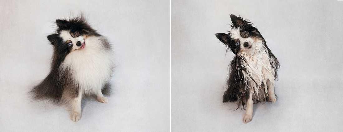 Gizmo – Pomeranian