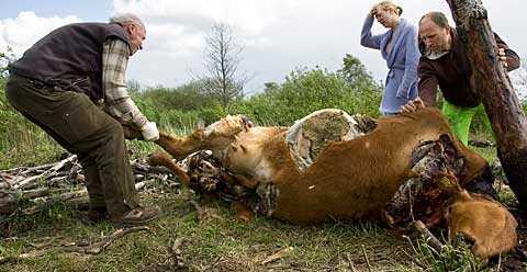 Tjuvarna band fast kon i ett träd och slaktade henne.