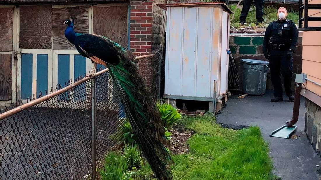 Den förrymda påfågeln kunde fångas in med hjälp av ett mobilt parningsljud.