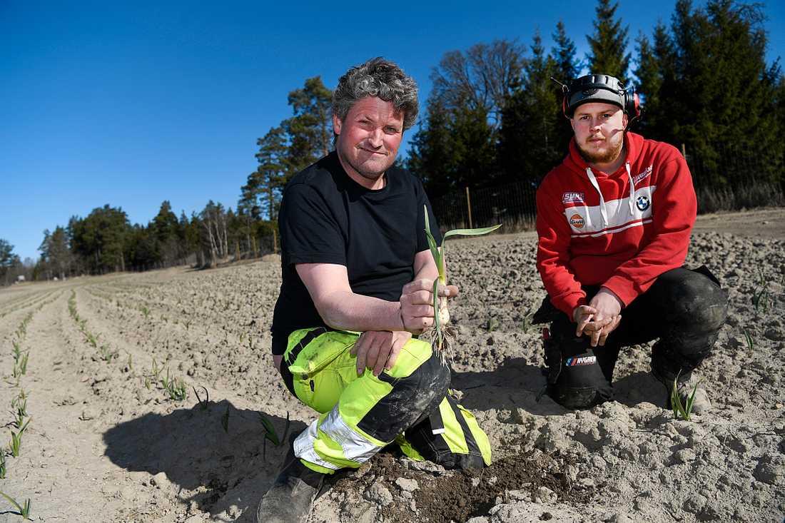 Bonden Anders Norlén anställde arbetssökande snickaren Micke Hallberg. Nu ska de snart skörda vitlöken som sattes i november.
