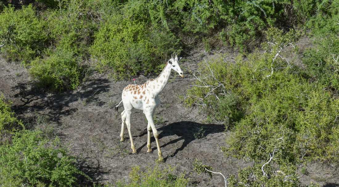Världens enda kända vita giraff.