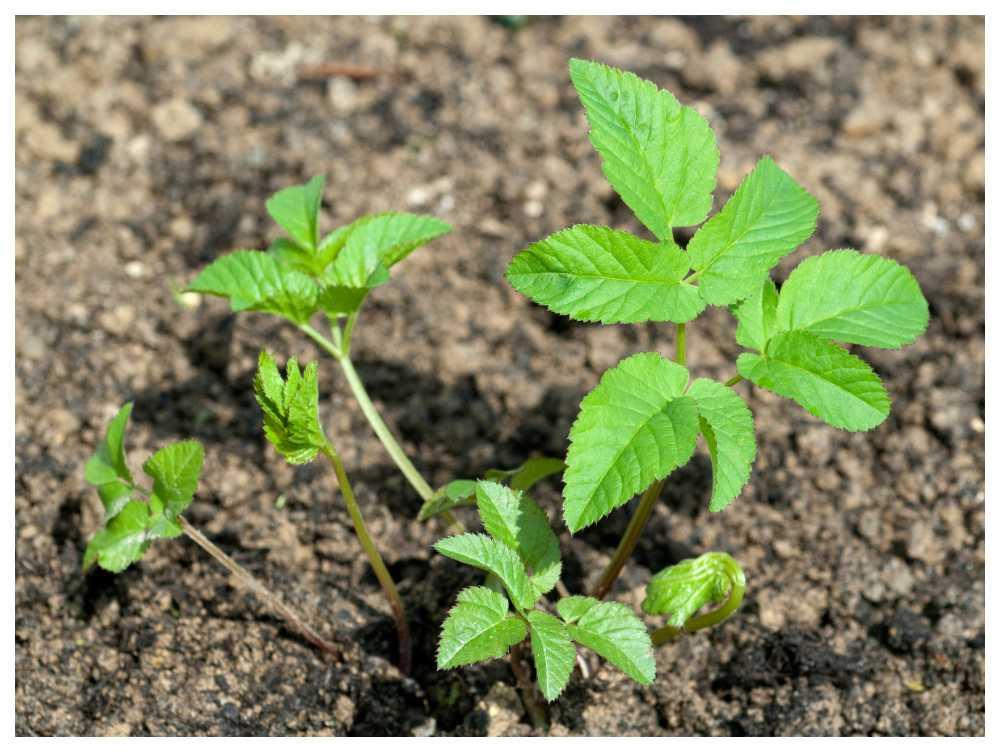 Nya kirskålsplantor är lätta att ta bort om jorden är lucker.