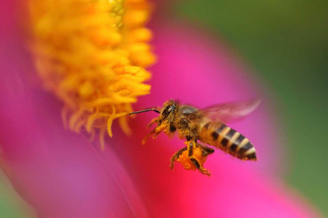 Honungsbi söker efter nektar. Arkivbild.