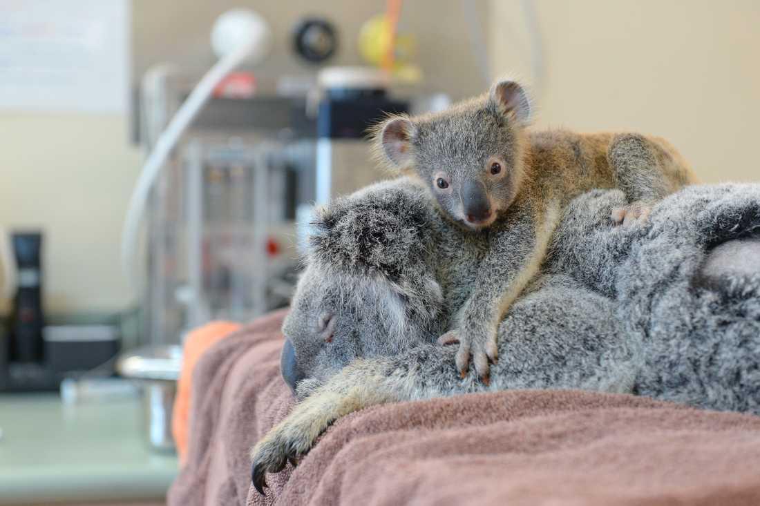 Koalor.