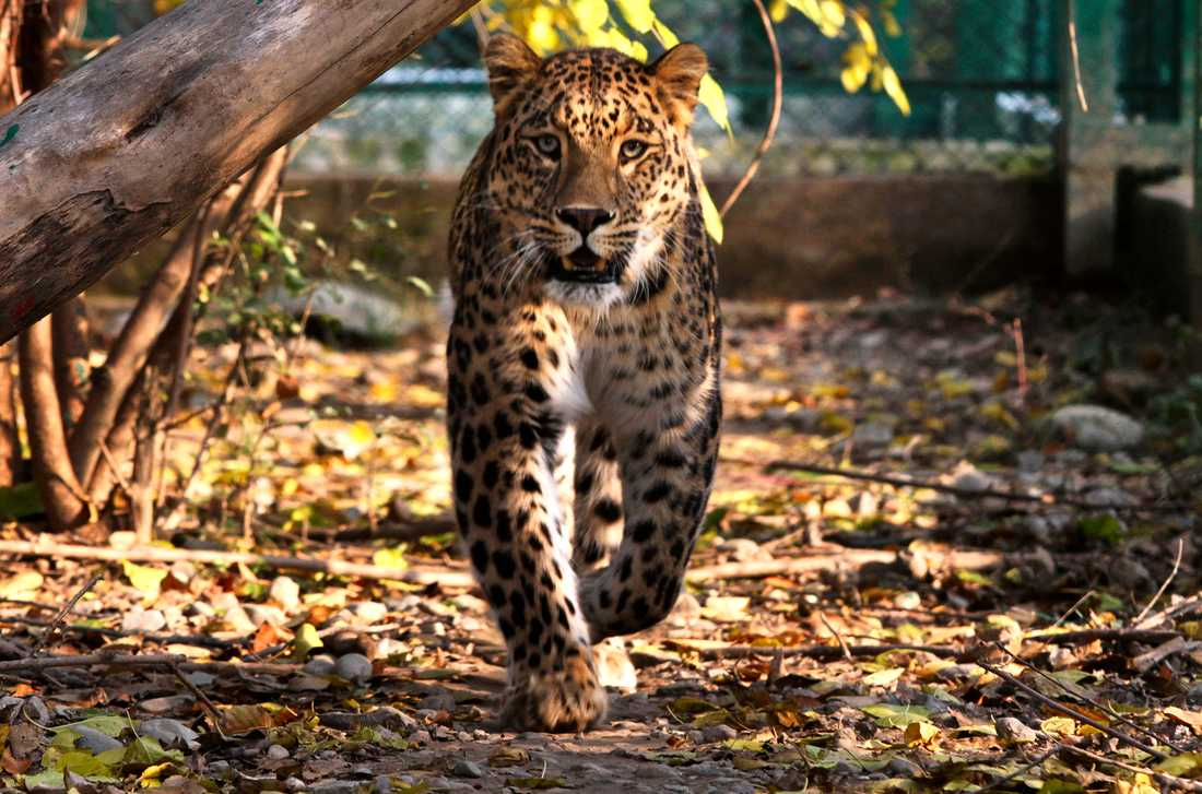 En leopard på strövtåg. Arkivbild.